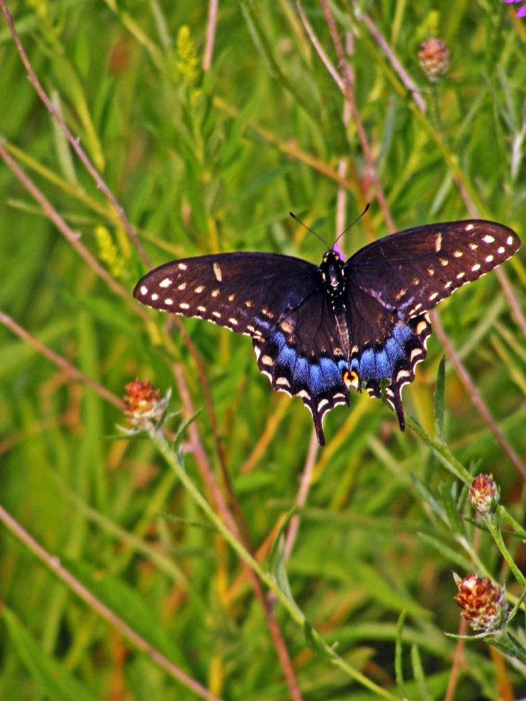 swallowtail_1_ul