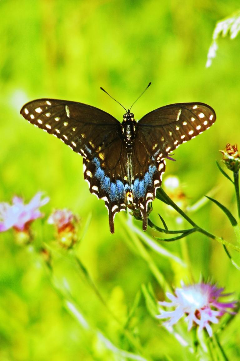swallowtail_posing_ul