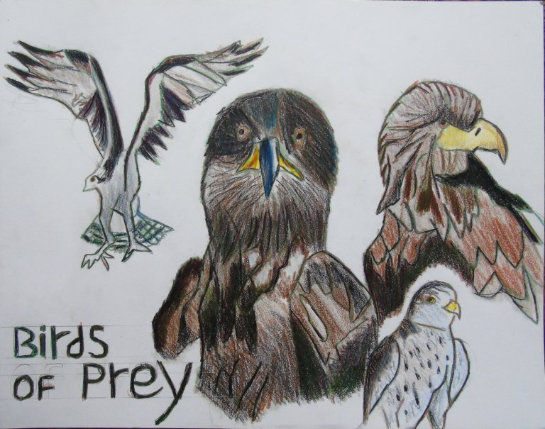 Birds of prey colouredpencils