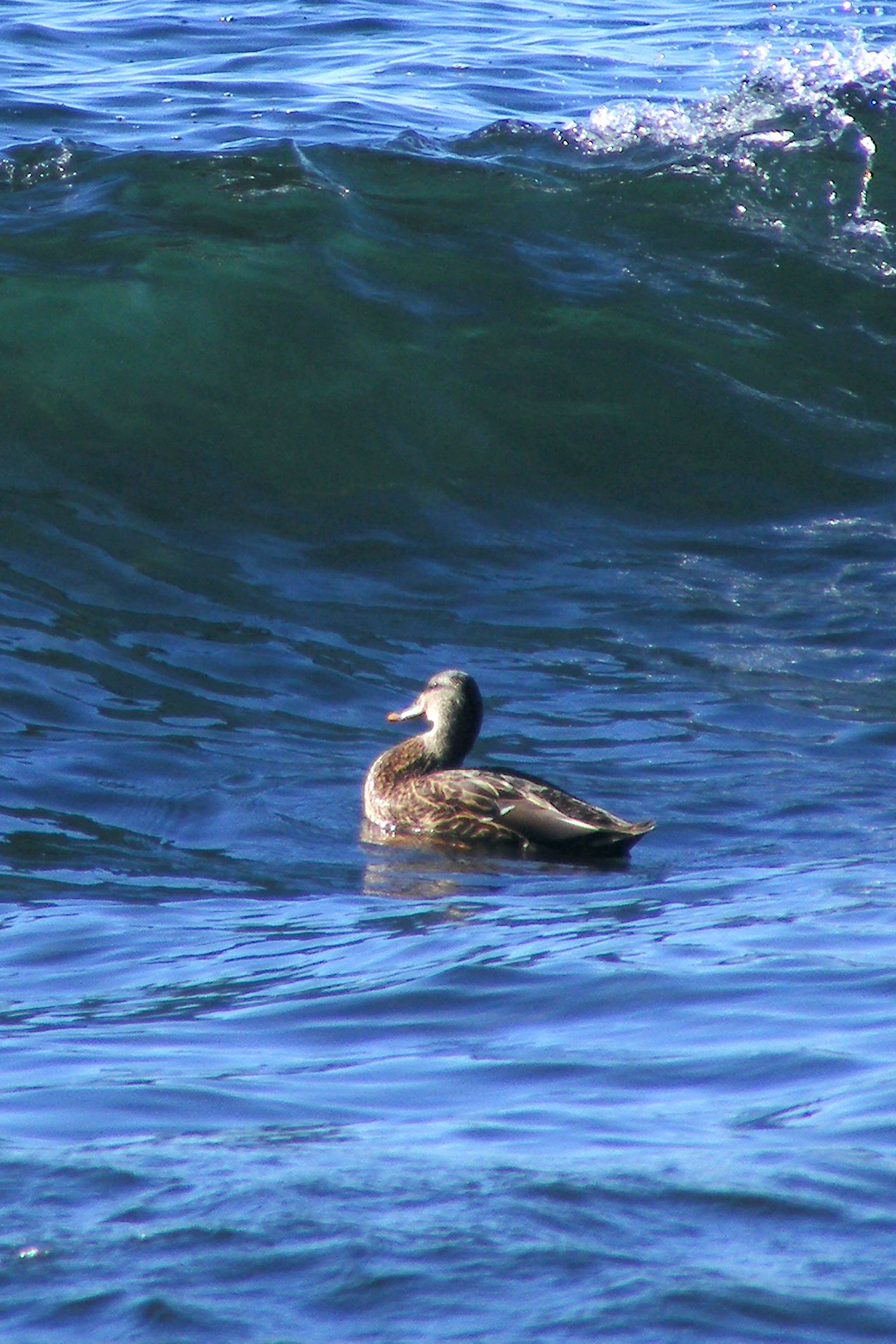 Duckwave
