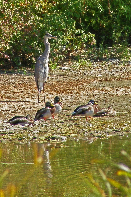 Herron ducks