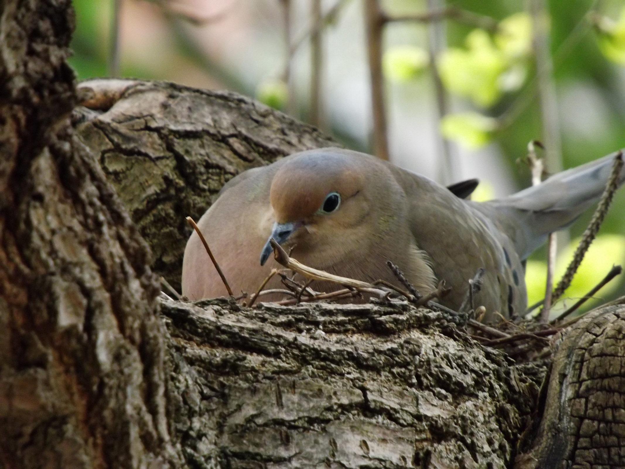 Dove on nest