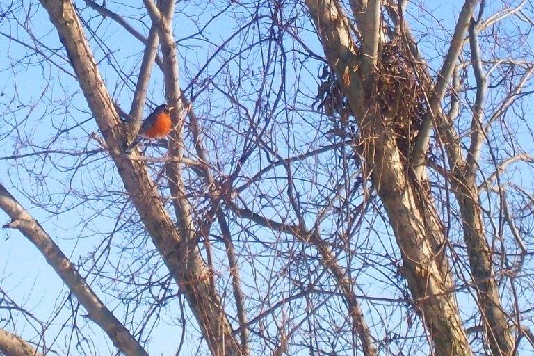 February robin