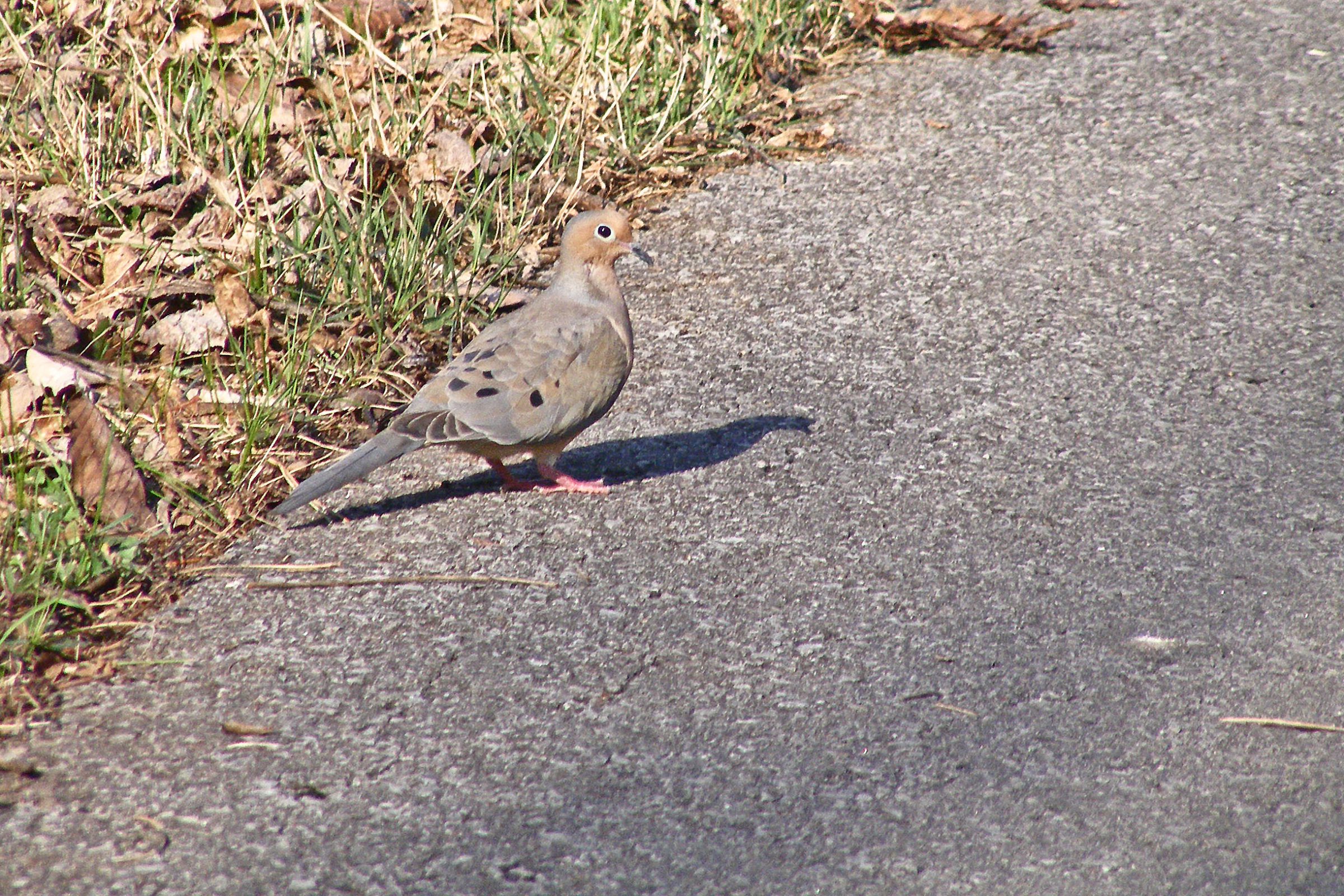 Mourning dove concrete