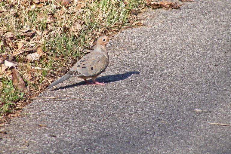 Mourning dove concrete