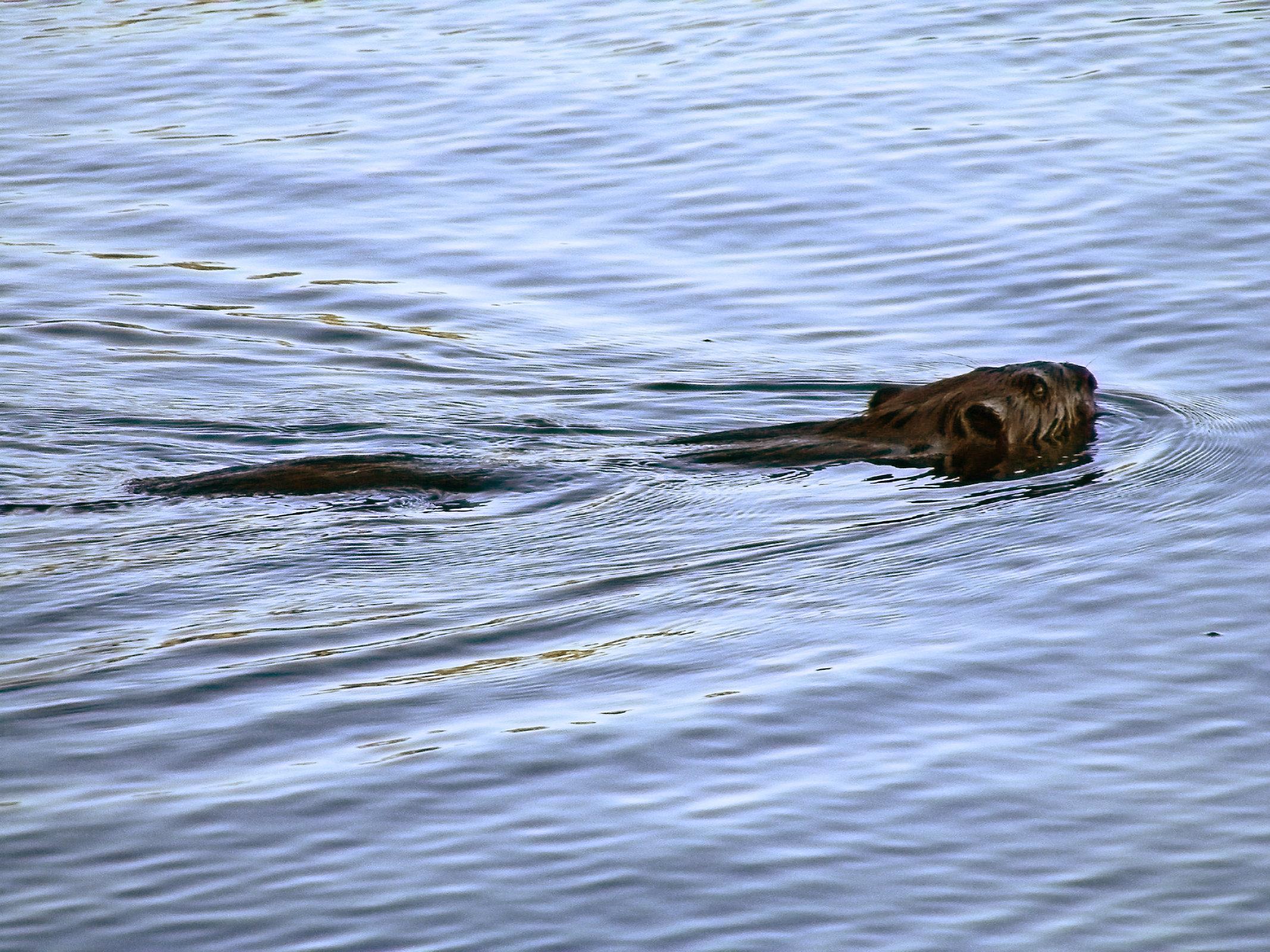 beaver2_ul