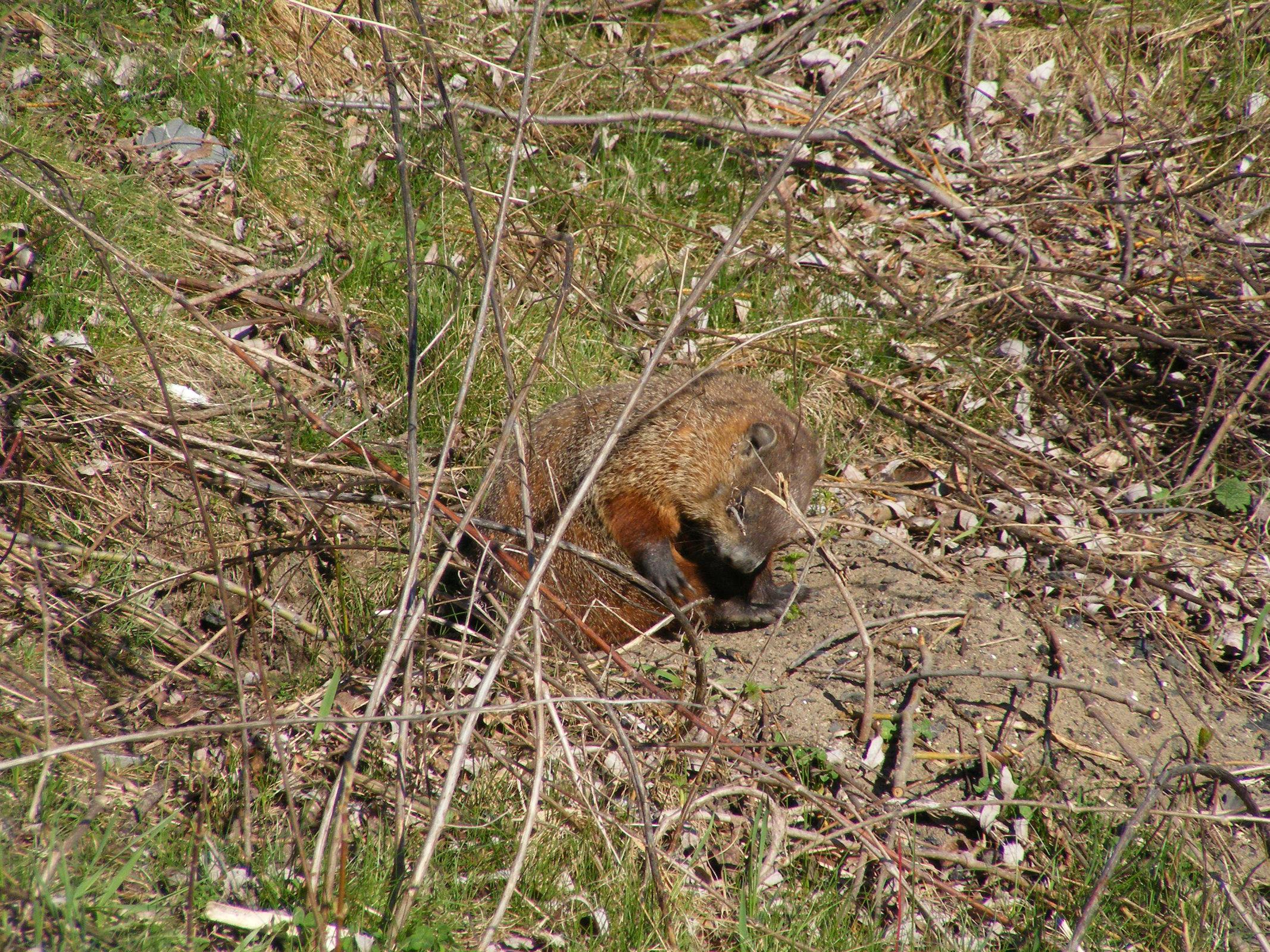 Groundhog 2016 scratch