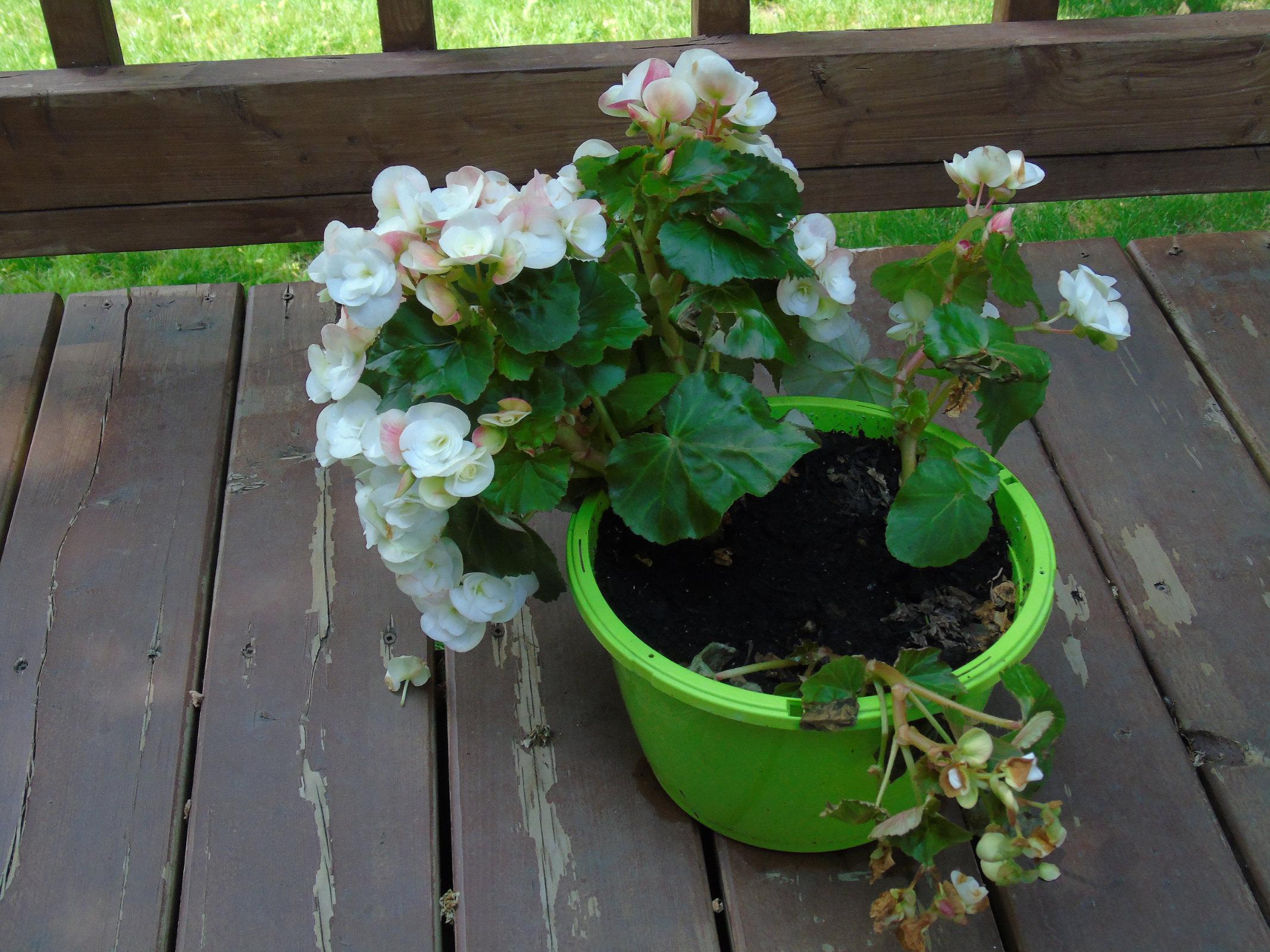 Begonias flowerbasket2