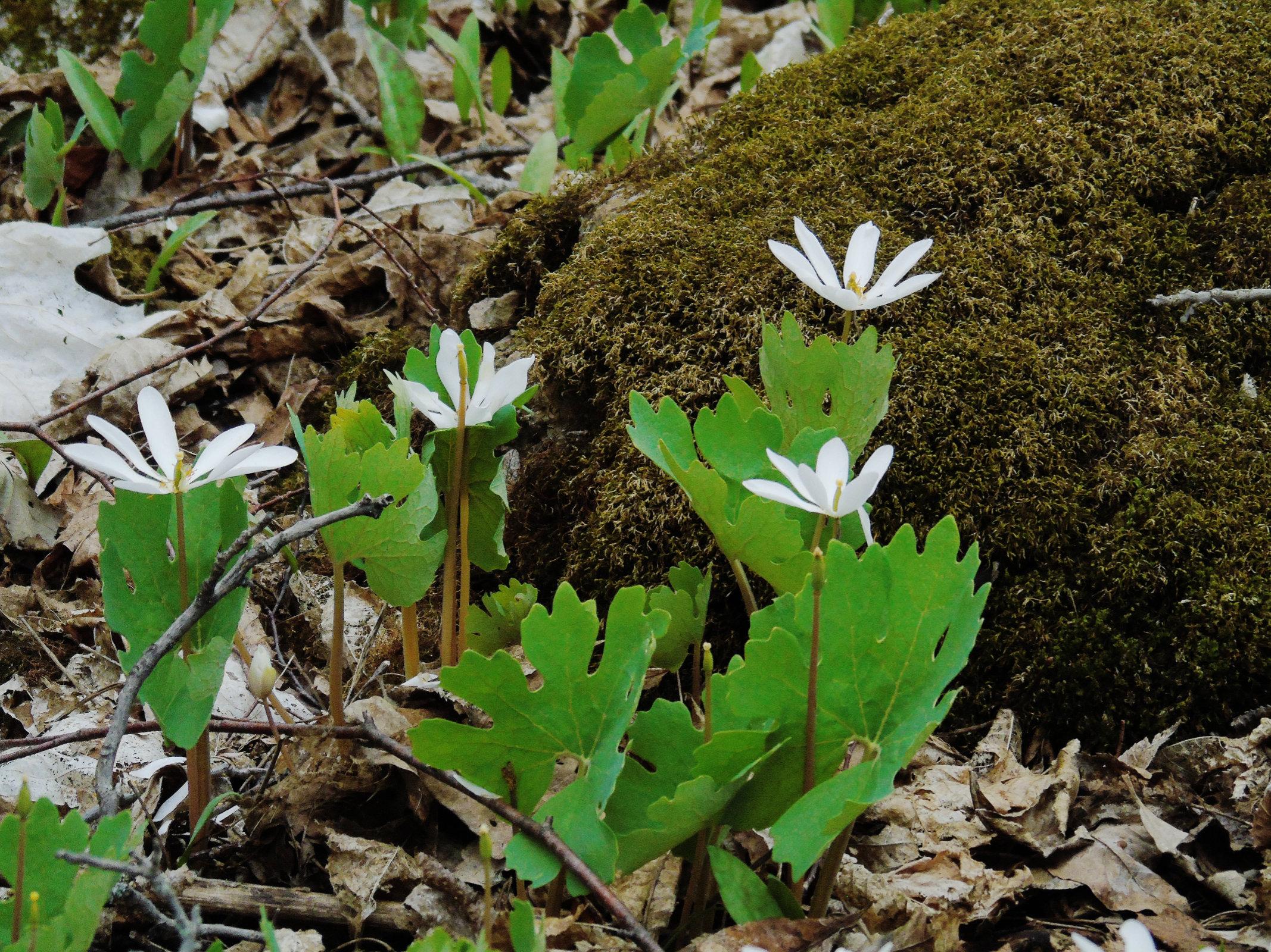 Bloodroot moss 2