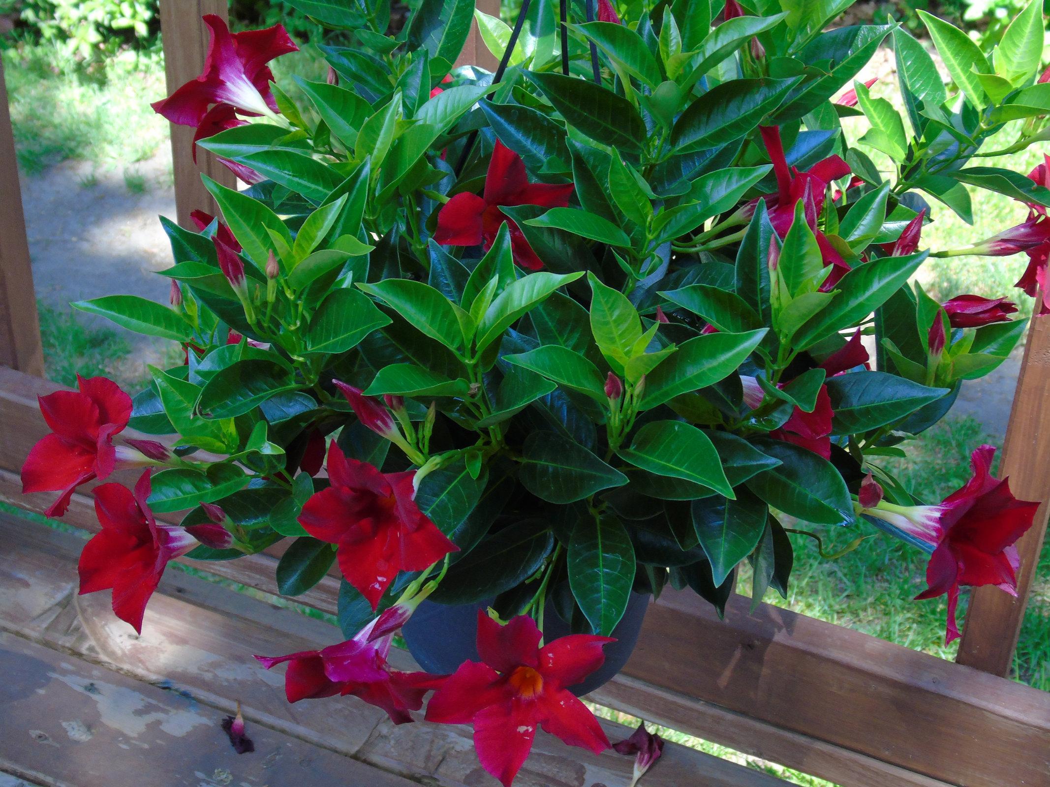 Dipladenia flowerbasket2
