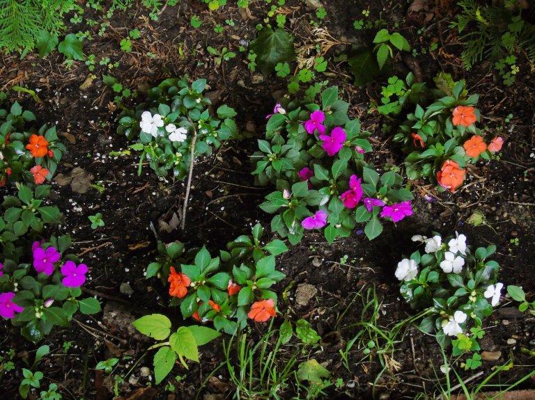 Impatien garden1