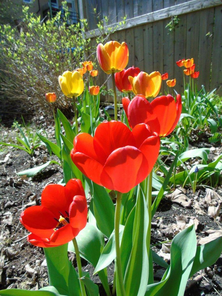 tulip_may_10th_2_ul