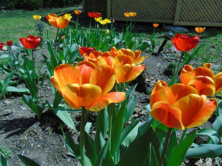 tulips_close2_ul