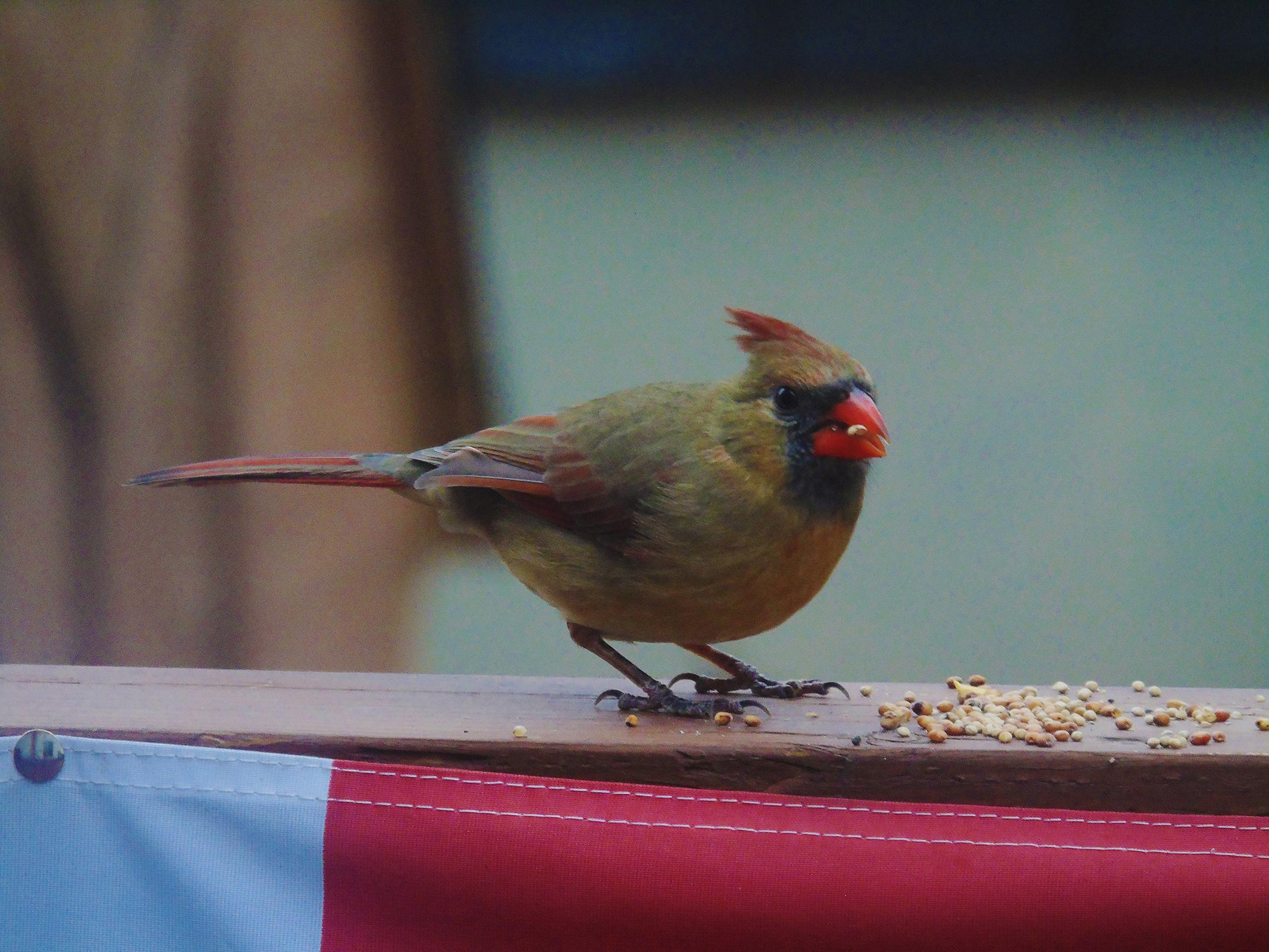redbird_female1_ul