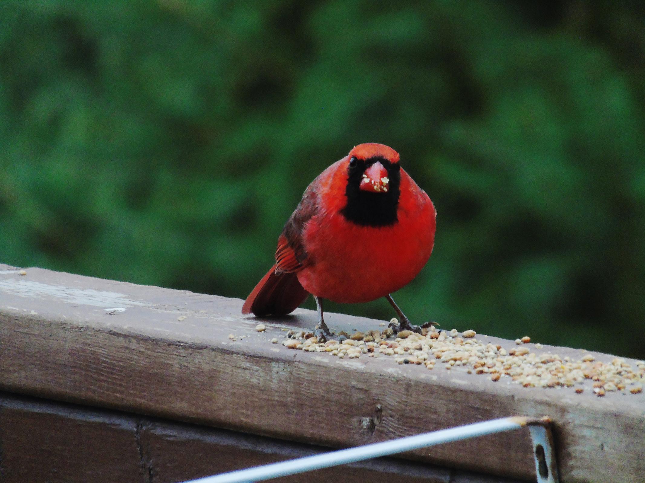 redbird_male_ul